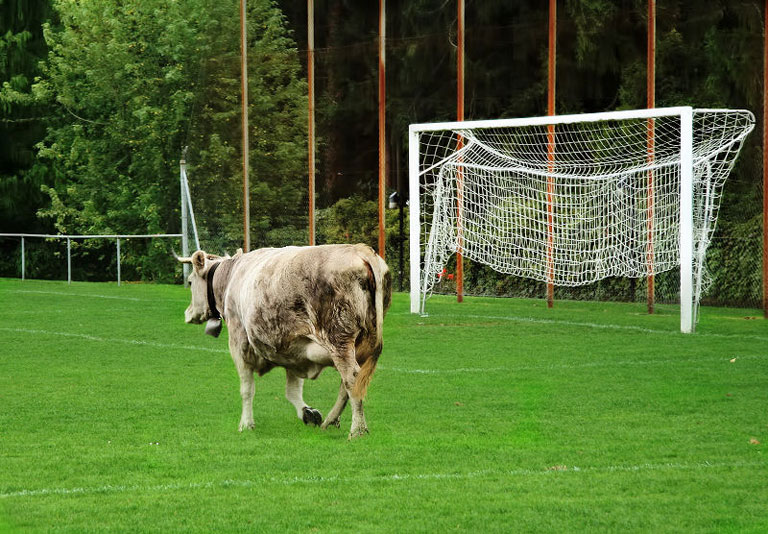 football-animal-cow