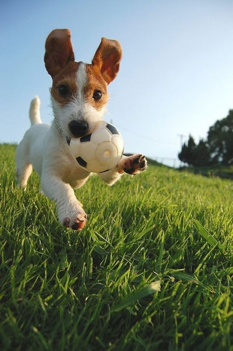 football-animal-dog
